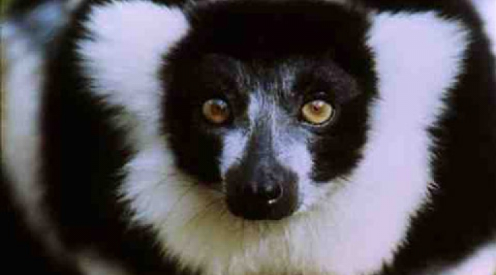 Cute ruffed Lemur