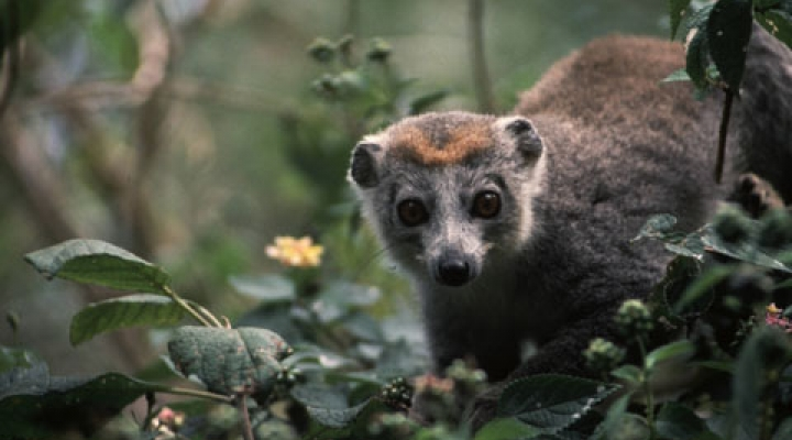 Female crowned lemur on limb of a bush ready to eat.