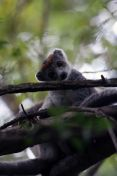 Female crowned lemur sitting in tree with head tilting toward a branch